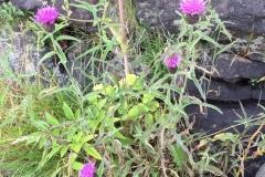 Centaurea-jacea-e1571901189372