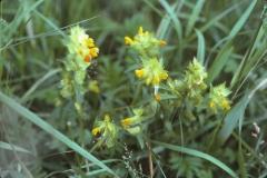 Rhinanthus minor - småengkall