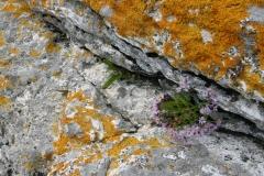 Tripolium pannonicum - strandstjerne