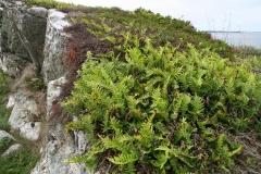 Polypodium vulgare - Sisslerot