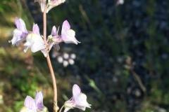 Linaria-purpurea-e1571901208282