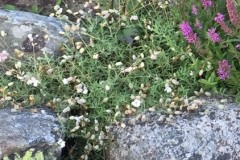 Silene-uniflora