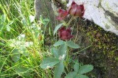 Comarum vulgare - myrhatt
