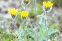 Pilosella officinalis - sveve