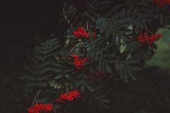 Sorbus aucuparia - rogn