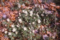 Anemone nemorosa - hvitveis