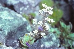 Saxifraga cotyledon - bergfrue