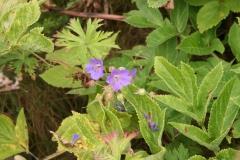 Geranium sylvaticum - skogstorkenebb