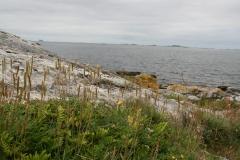 Plantago maritima - strandkjempe